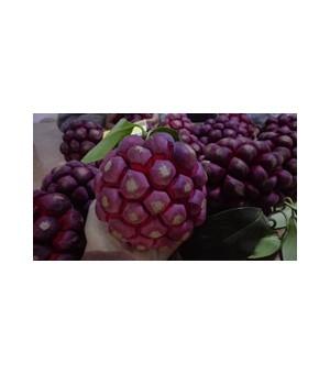 布福娜果苗种植