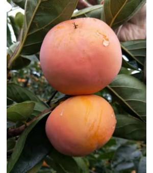 供应甜柿种植栽培