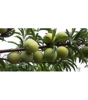 蜂糖李种植技术栽培