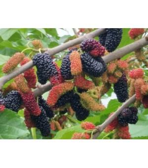 大果桑椹苗无籽果桑种植