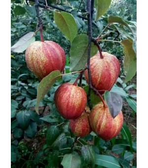 早酥红梨优质嫁接苗批发