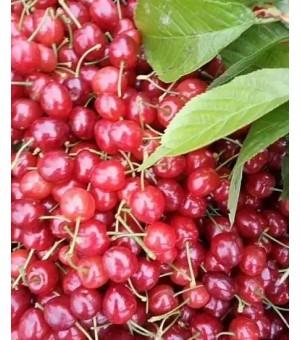 玛瑙红樱桃苗价格玛瑙红樱桃的营养