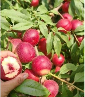 珍珠枣蜜桃的营养价值珍珠枣蜜桃种植前景