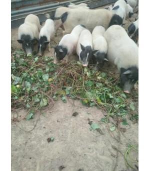 巴马香猪养殖产地香猪苗批发