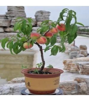 盆桃如何种植 盆桃产地