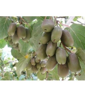 软枣猕猴桃两年生苗木龙城2号,组培脱毒品质好,跟踪服务