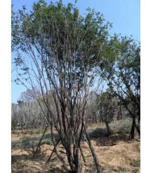 长期供应金枝槐   茶条槭   皂荚