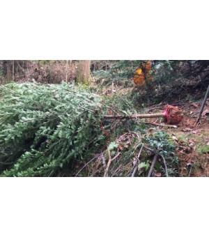 3公分红豆杉