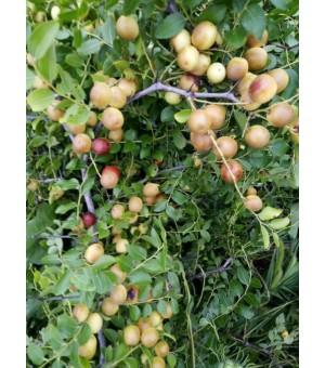 供应酸枣、酸枣种植、速成杨树