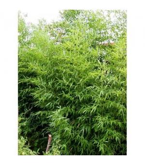廊坊绿化苗木竹子